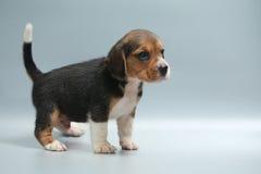 silny czysty trakenu beagle szczeniak Zdjęcia Stock