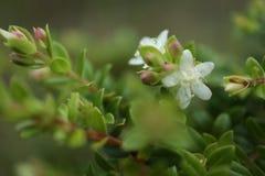 Silny dama kwiat fotografia stock