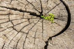 Silny nasieniodajny dorośnięcie na starym cięcie puszka drzewie Zdjęcie Stock