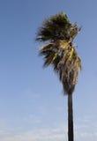 Silny wiatr dmucha gałąź wysoki drzewo Fotografia Royalty Free