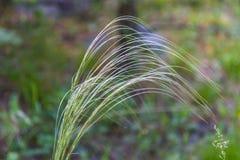 Silny wiatr kiwa trawy i macha, Altai, Rosja obrazy stock