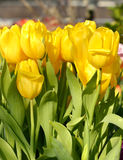 Silny Złocisty tulipan Obrazy Royalty Free