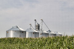 Silos in the Corn. Corrugated metal silos in a field of corn. Image shows five new silos glowing in the sun with a field of corn in the foreground and shot royalty free stock photos