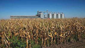 Silos del secador del maíz que se colocan en un campo del maíz Fotos de archivo libres de regalías