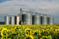 silos Feld mit Sonnenblumen Stockfotos