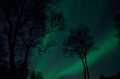 Silouette dell'albero con l'aurora borealis e stelle alla notte Fotografia Stock
