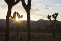 Silouette of Joshua trees in desert at sunset Royalty Free Stock Images