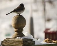 Silouette of Sparrow Royalty Free Stock Images