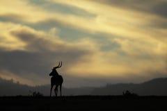 Silouhette d'Impala image libre de droits