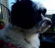 Siloutte del cucciolo Immagine Stock Libera da Diritti
