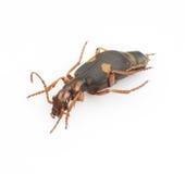 Silphidae Stock Foto's