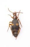 Silphidae Royalty-vrije Stock Foto