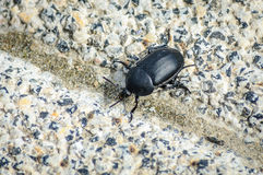Silphidae carrion beetles Stock Photo