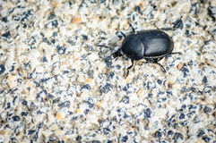 Silphidae carrion beetles insect bug Stock Photo