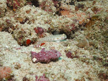 Silty Sand Goby Royalty Free Stock Image