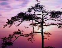 siluate δέντρο Στοκ Φωτογραφίες