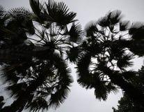 siluate kokosowy drzewo Obrazy Royalty Free