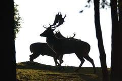 Siluet dos deers do Fallow Imagem de Stock