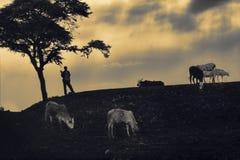 Silueta africana del muchacho que vigila el ganado en la puesta del sol Foto de archivo