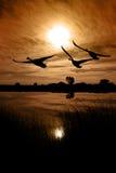 Silueta canadiense de los gansos Imagenes de archivo