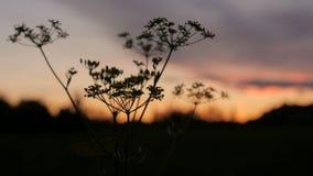 Silueta cercana de la hierba larga, de las plantas que se mueven suavemente delante de un cielo azul y de la puesta del sol almacen de metraje de vídeo