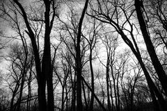 Silueta de árboles en el grano para moler de la cala del pino en Iowa Fotos de archivo libres de regalías