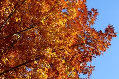 Silueta de Autumn Tree Fotos de archivo