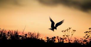 Silueta de golondrinas de mar comunes en el cielo rojo de la puesta del sol de la puesta del sol La golondrina de mar común (hiru Fotografía de archivo