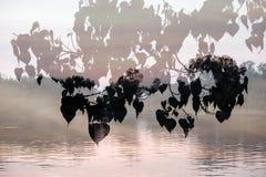 Silueta de hojas del higo de BO Treesacred, religiosa de los ficus sobrepuesto en fondo del río imagen de archivo libre de regalías