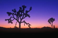 Silueta de Joshua Tree, desierto en la floración, CA Foto de archivo