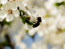 Silueta de la abeja en las flores blancas del manzano Imagen de archivo libre de regalías