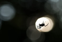 Silueta de la araña en un web Imagenes de archivo