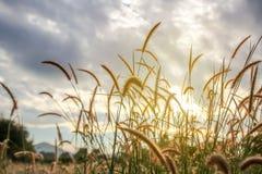 Silueta de la flor de la hierba en fondo de la puesta del sol Foto de archivo libre de regalías