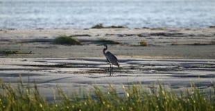 Silueta de la garza de gran azul en la playa, Hilton Head Island Imagen de archivo libre de regalías