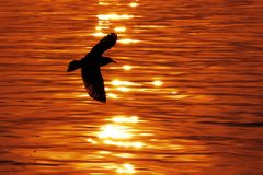 Silueta de la gaviota del vuelo Fotografía de archivo libre de regalías