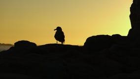 Silueta de la gaviota en la puesta del sol Fotografía de archivo