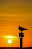 Silueta de la gaviota en puesta del sol Fotografía de archivo libre de regalías