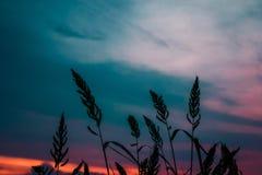 Silueta de la hierba en puesta del sol Imagen de archivo libre de regalías