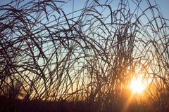 Silueta de la hierba en una puesta del sol Fotos de archivo