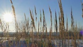 Silueta de la hierba salvaje contra el cielo de oro de la hora durante puesta del sol almacen de metraje de vídeo