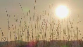 Silueta de la hierba salvaje contra el cielo de oro de la hora durante puesta del sol almacen de video
