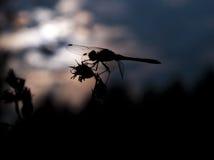 Silueta de la libélula Imagen de archivo libre de regalías