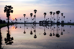 Silueta de la palmera del azúcar en la reflexión Fotos de archivo libres de regalías