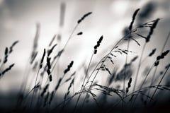 Silueta de la planta de la hierba Fotografía de archivo libre de regalías