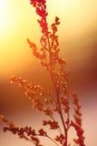Silueta de la planta secada en una puesta del sol del fondo Fotos de archivo