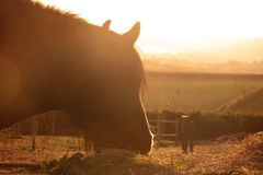 Silueta de la puesta del sol de una cabeza de caballo foto de archivo libre de regalías
