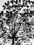 Silueta de la rama de árbol Imagen de archivo libre de regalías