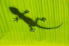 Silueta de la salamandra tokay en una hoja de la palmera, Ang Thong Nationa Imágenes de archivo libres de regalías