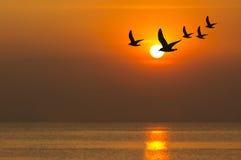 Silueta de las gaviotas que vuelan en la puesta del sol Imagen de archivo