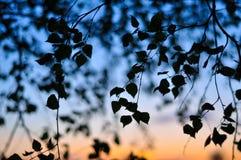 Silueta de las hojas del abedul en fondo de la puesta del sol Fotografía de archivo libre de regalías
